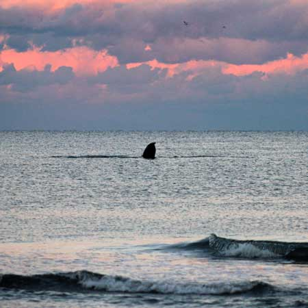 Image gallery whale spotted off the beach in ocean city for Ocean city nj surf fishing report
