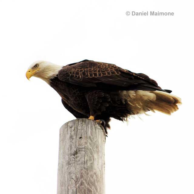 A bald eagle perches near the foot of the Ocean City-Longport Bridge.