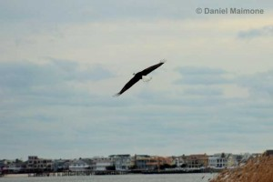 Long port can be seen in the background as a bald eagle flies over Dog Beach on Oct. 26.