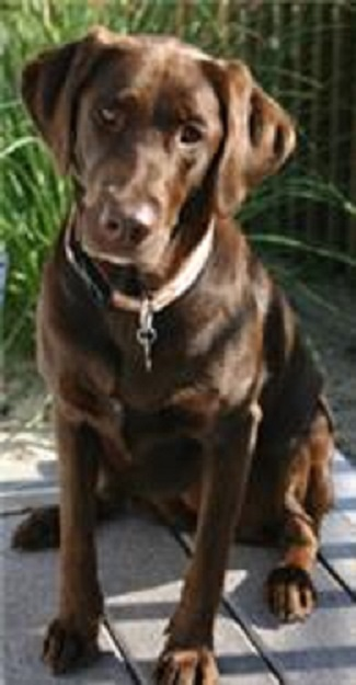 The Dog of the Decade, the late Mocha. A Chocolate Lab, owned by Sue and Gary Bechtold
